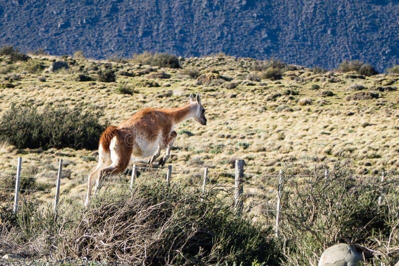 Le Guanaco sautant une barrière en parc national de Torres del Paine photographie stock libre de droits