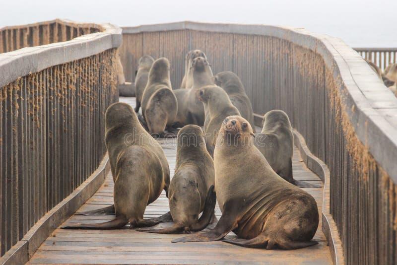 Le guarnizioni sveglie giocano rumorosamente sulle rive dell'Oceano Atlantico in Namibia immagini stock