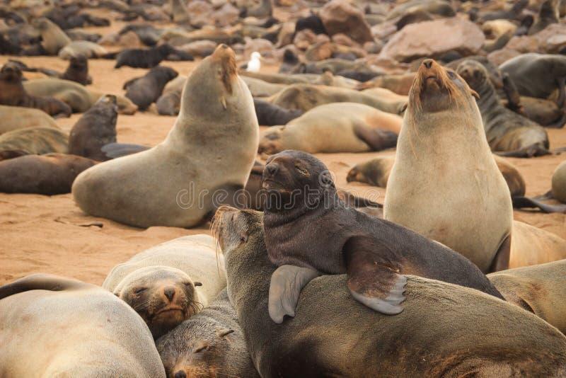 Le guarnizioni sveglie giocano rumorosamente sulle rive dell'Oceano Atlantico in Namibia fotografia stock