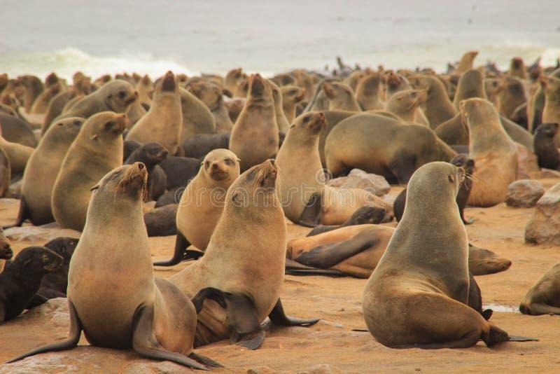 Le guarnizioni sveglie giocano rumorosamente sulle rive dell'Oceano Atlantico in Namibia fotografie stock