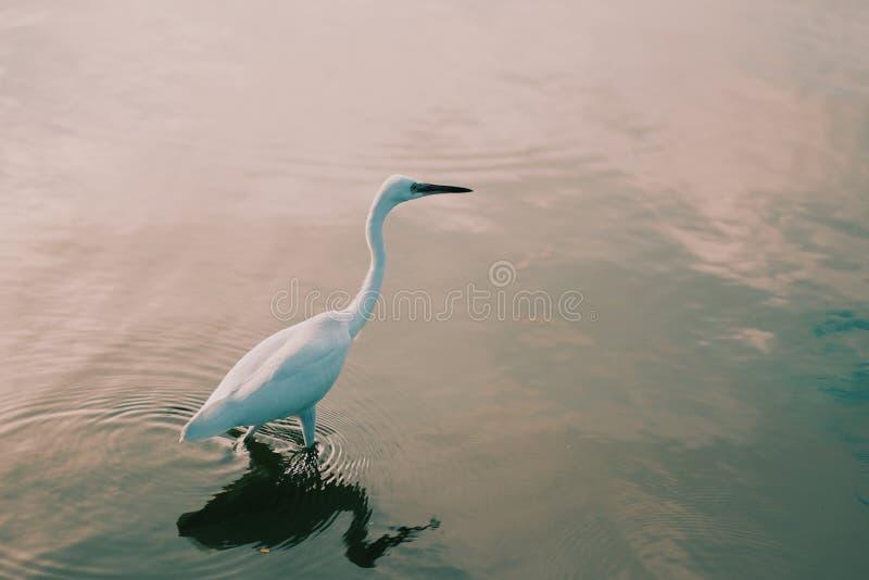 Le héron blanc recherche la nourriture en rivière images stock