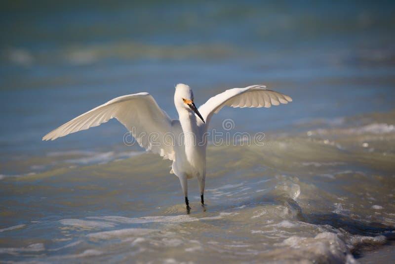 Le héron de Milou blanc danse dans le ressac photographie stock