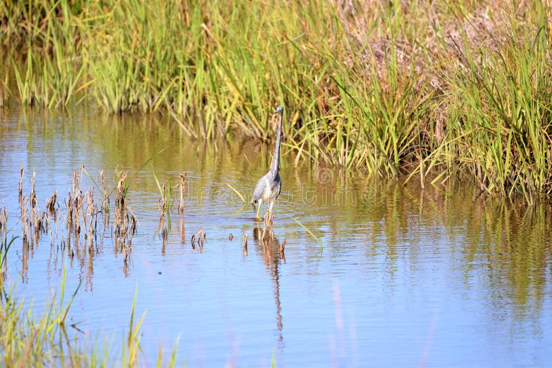 Le héron de Tricolored couvre un grand nombre d'eau de marais dans sa chasse photographie stock libre de droits
