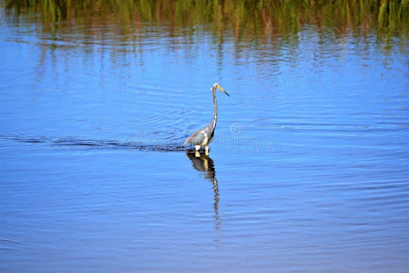 Le héron de Tricolored glisse par le marais peu profond sur le Greenway de crique d'Egans d'Amelia Island, la Floride photos libres de droits