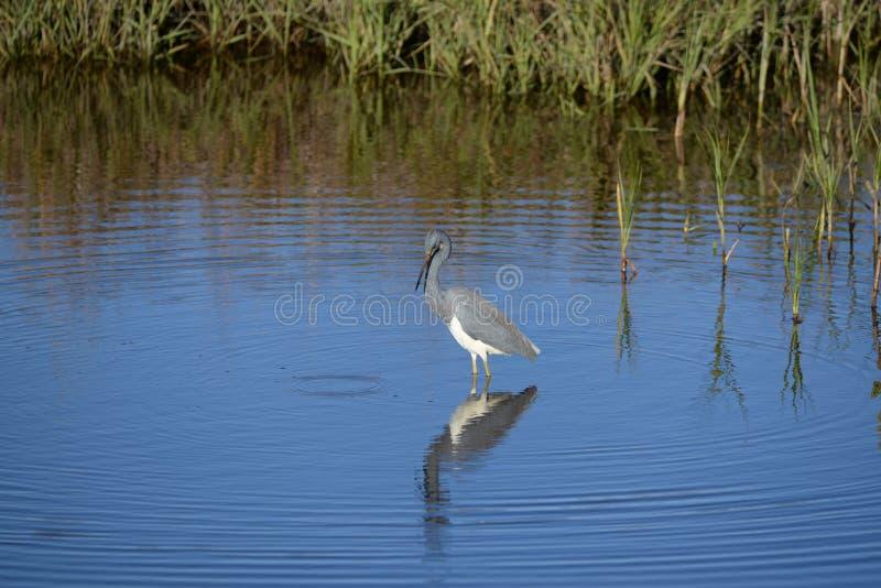 Le héron de Tricolored reste la pêche occupée dans l'étang peu profond à côté de la rivière image stock