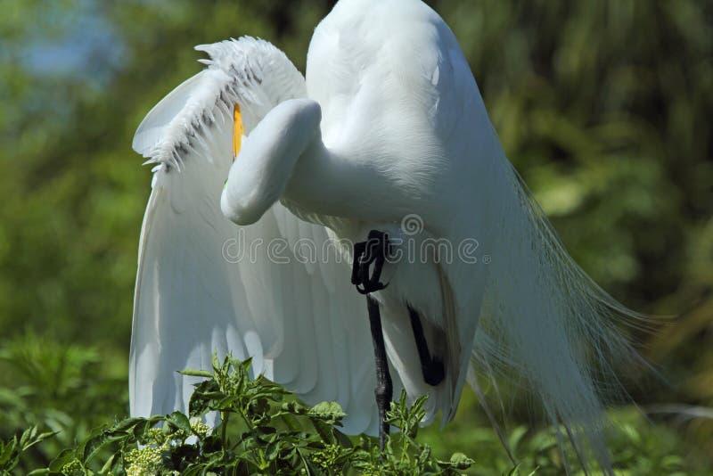 Le héron lissant son aile fait varier le pas dans un marais en Floride photo libre de droits