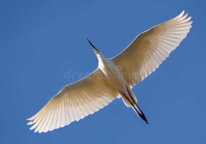 Le héron mûr de Great White vole en haut avec les ailes entièrement étirées et le ciel bleu lumineux image libre de droits