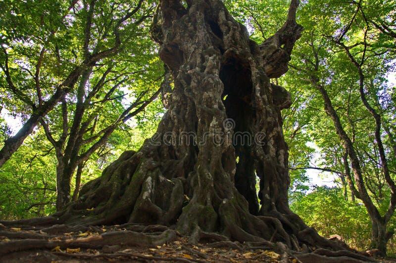 Le hêtre antique se tient comme une garde au sentier piéton dans la forêt images libres de droits