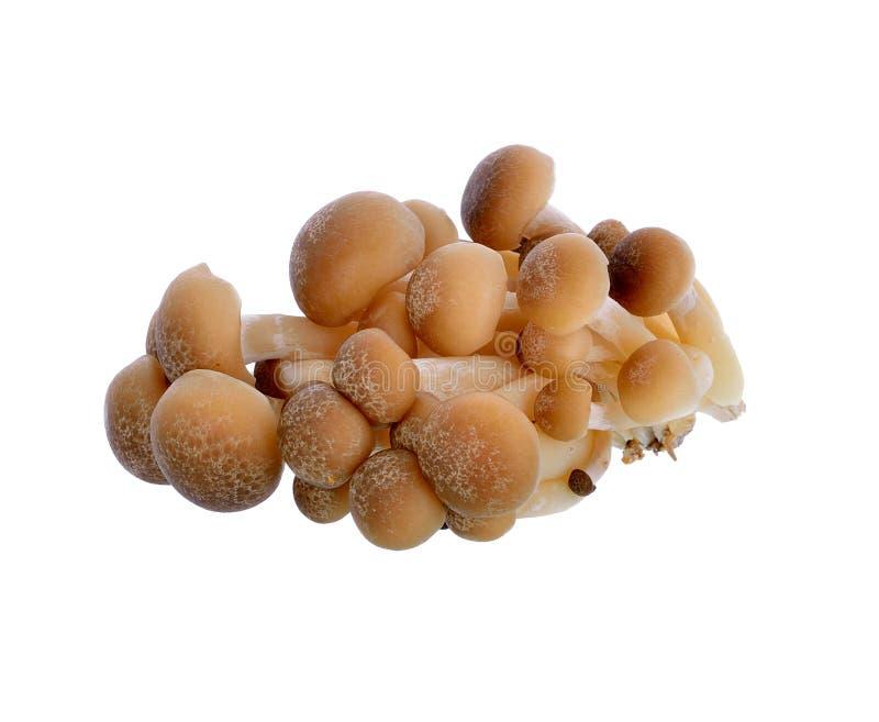 Le hêtre de Brown répand, champignon de Shimeji, champignon comestible image stock