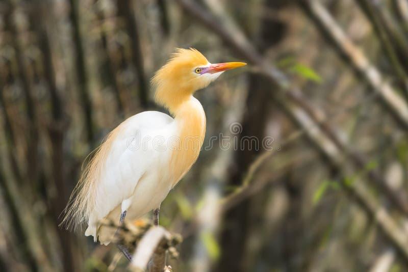 Le h?ron de b?tail blanc est trouv? dans le bord de lac en bambou Pokhara N?pal d'arbres image libre de droits