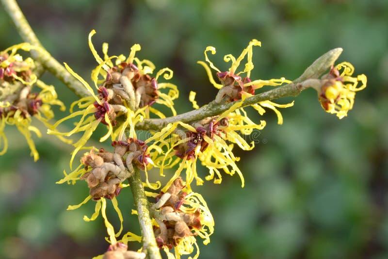 Le Hamamelis est en pleine floraison. photo stock