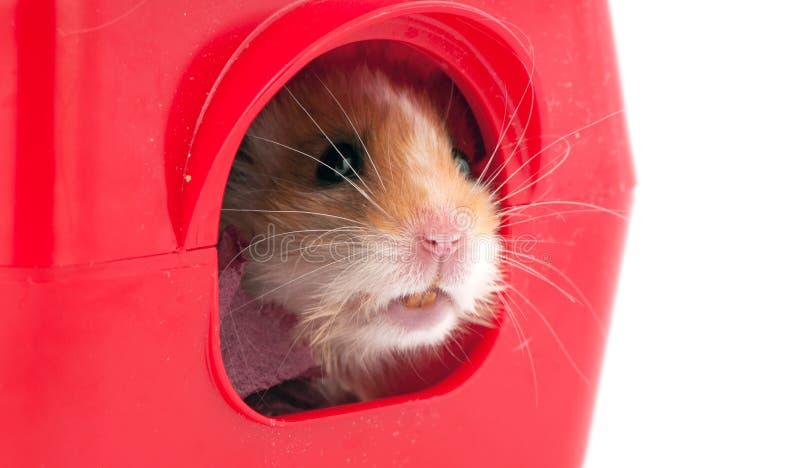 Le hamster à l'intérieur d'un plastique de rouge choie la maison photo stock