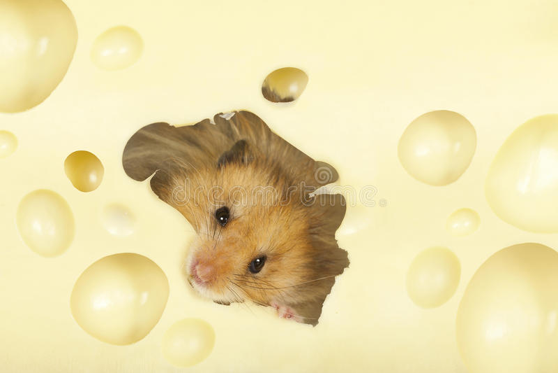 Le hamster photos stock