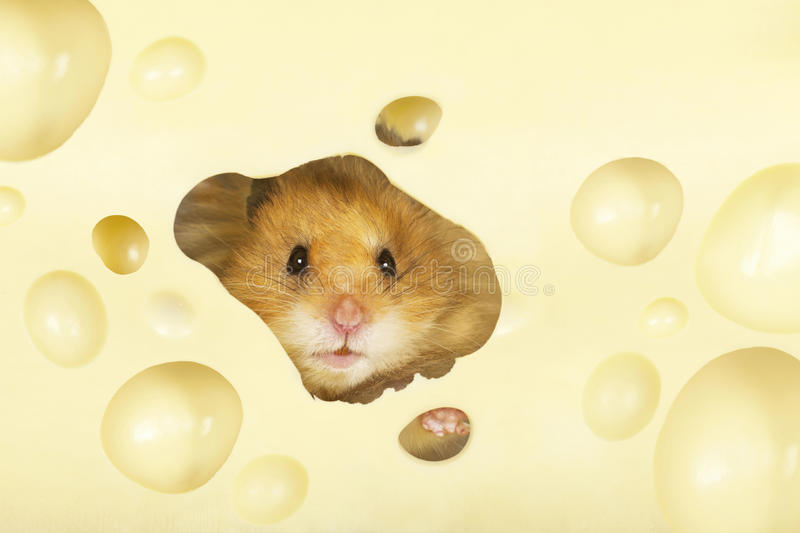 Le hamster images stock