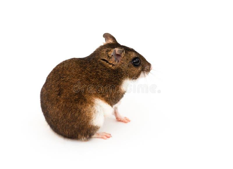 Le hamster d'Eversmann photos libres de droits