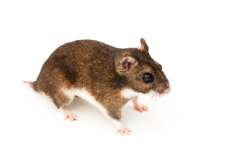 Le hamster d'Eversmann photographie stock