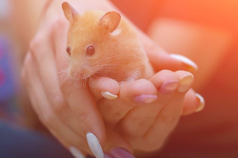 Le hamster dans les bras d'une fille adulte avec les clous color?s a peint Front View image stock