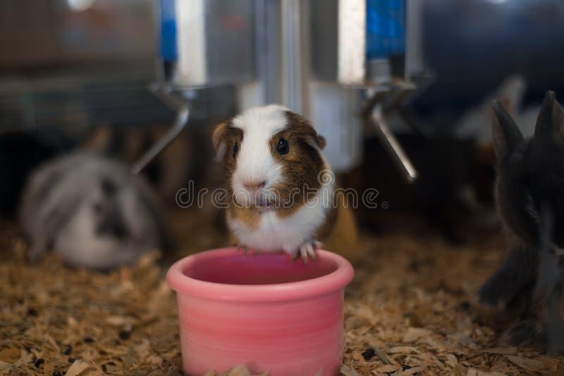 Le hamster de magasin d'animal familier semble intéressé tout en alimentant image stock