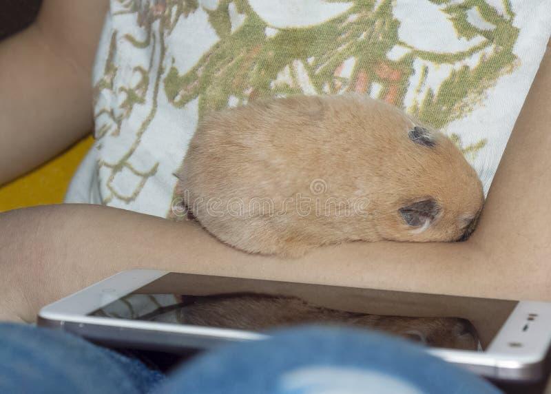 Le hamster dort dans les bras images stock