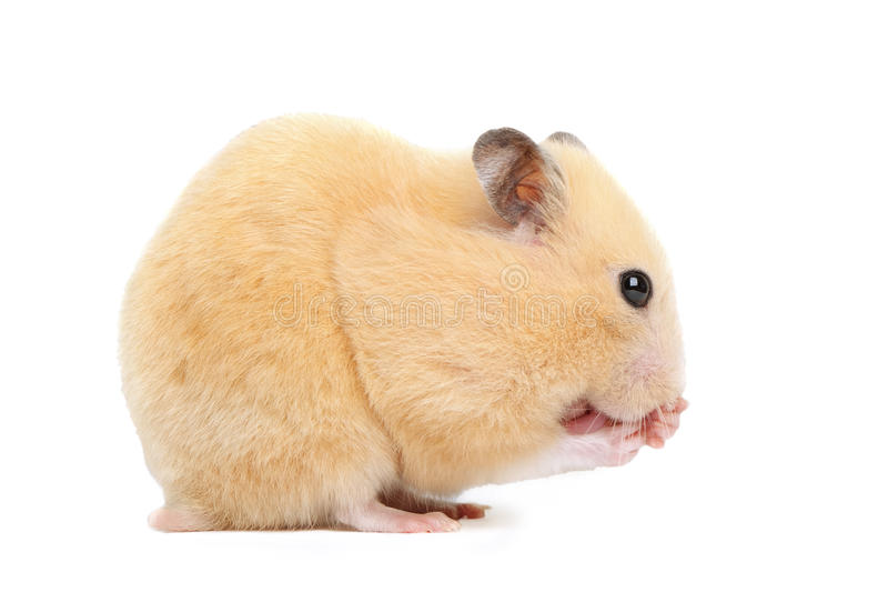 Le hamster drôle mange images libres de droits