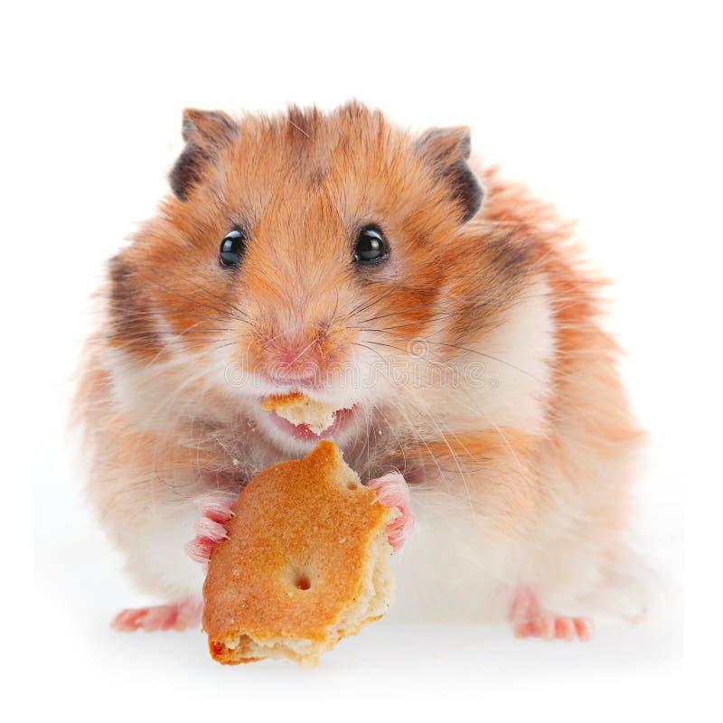 Le hamster mangent le biscuit photographie stock libre de droits