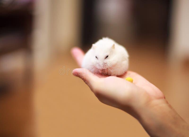 Le hamster mignon de nain blanc d'hiver sur la main de propriétaire est alimenté avec l'aliment pour animaux familiers photos libres de droits