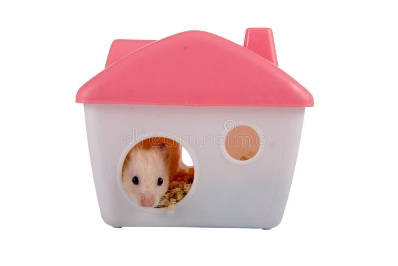 Le hamster regarde hors de la maison image libre de droits