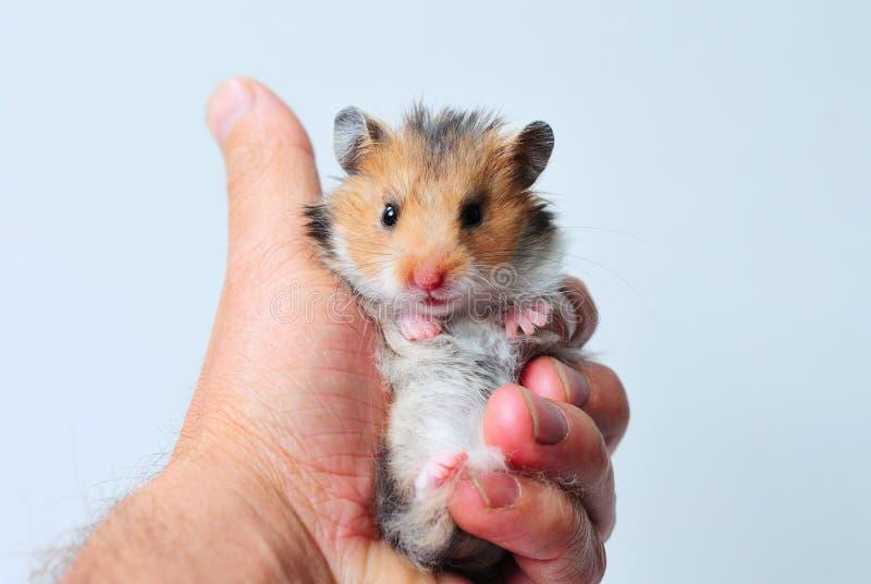 Le hamster syrien dans la main regarde l'appareil-photo photos libres de droits