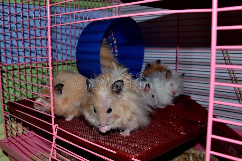 Le hamster veut être propre images libres de droits