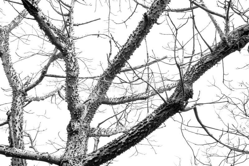 Le hangar monochrome de peau d'arbre de bombax part dans le foreston images libres de droits