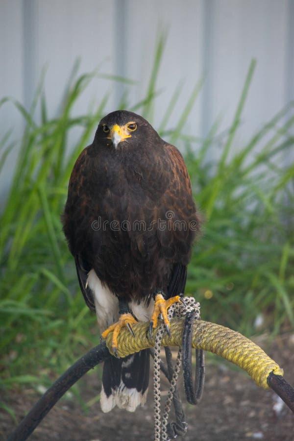 Le harrier est des espèces de faucon journalier placées dans le Circinae sous images stock