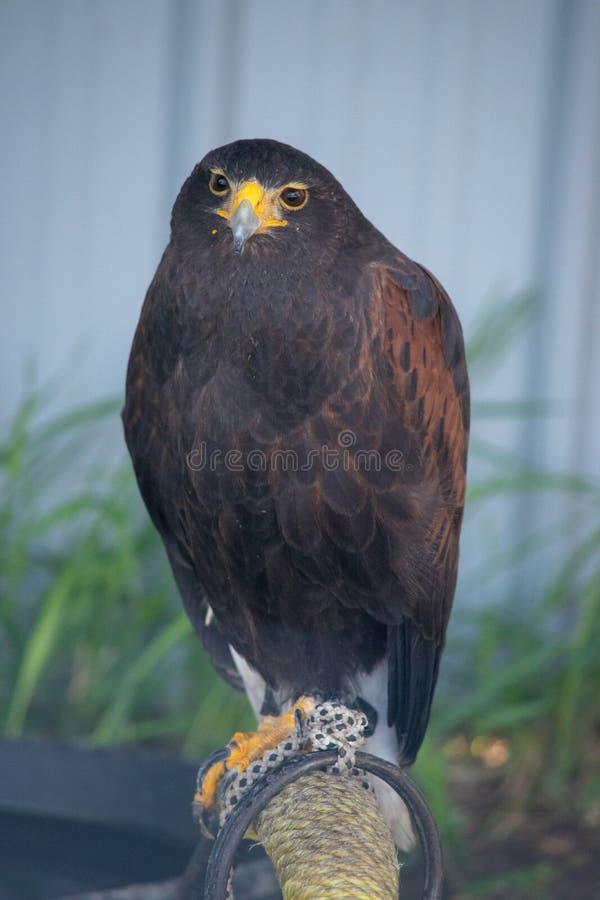 Le harrier est des espèces de faucon journalier placées dans le Circinae sous photo stock