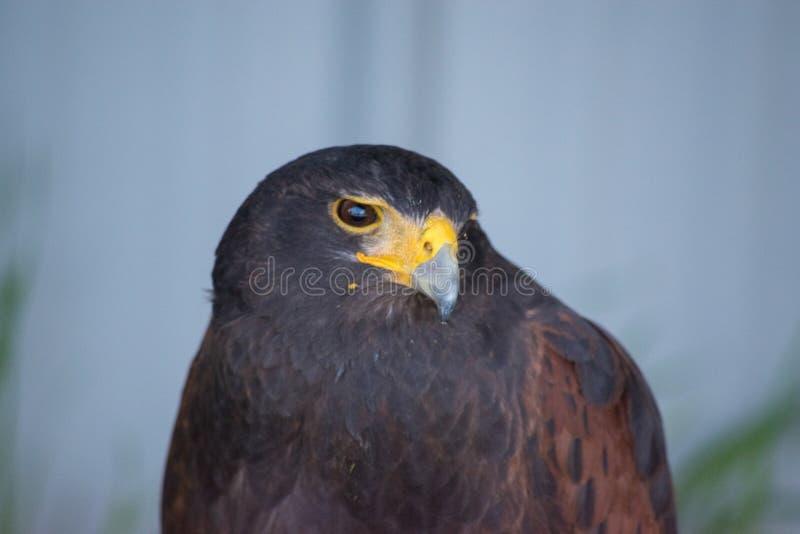 Le harrier est des espèces de faucon journalier placées dans le Circinae sous photos libres de droits