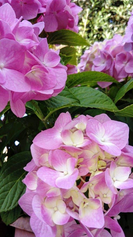 Le Hortensia aime une fleur d'été photos libres de droits