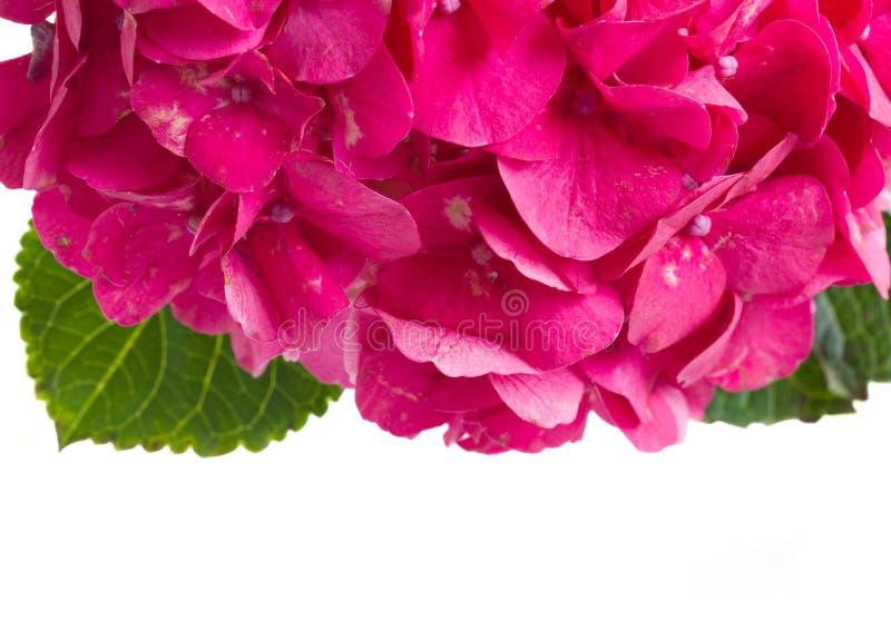 Le hortensia rose fleurit la frontière photos libres de droits
