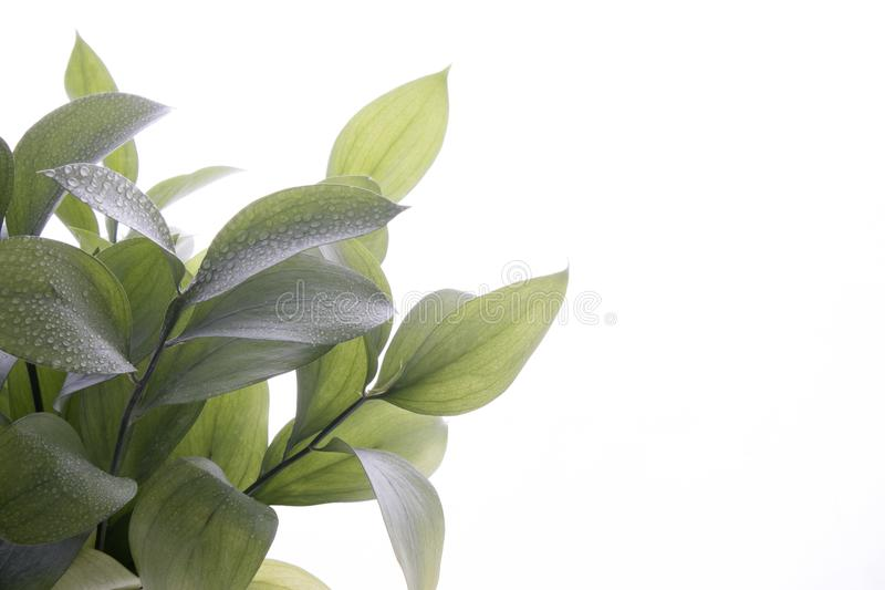 Le hypophyllum de Ruscus, balai invertébré du ` s de boucher, usine de feuillage de fleuristes, d'isolement sur le blanc photo stock