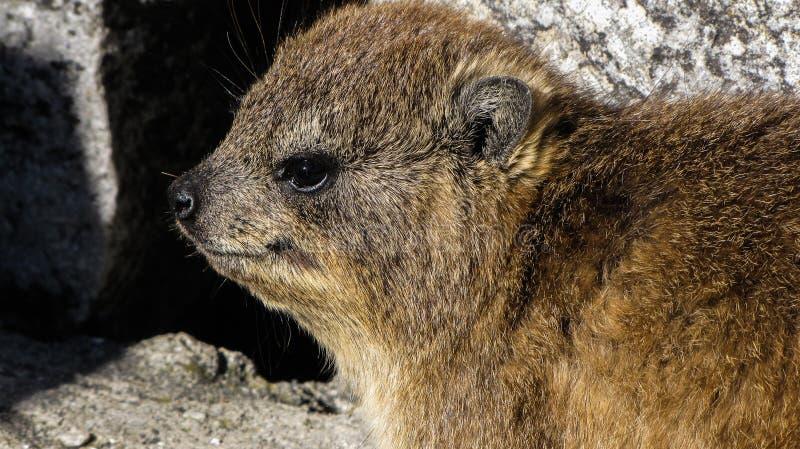 Le hyrax de roche, le blaireau de roche, le lapin de roche, le hyrax de cap ou le dassie à la montagne de table, Cape Town, Afriq images stock