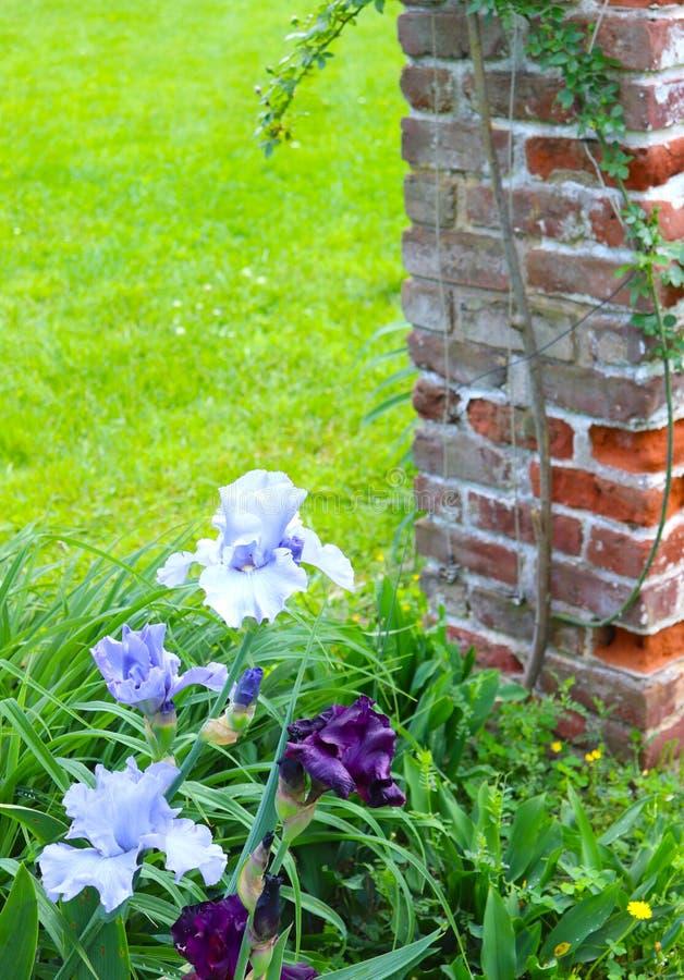 Le iridi blu e porpora fioriscono in questo giardino accanto ad una posta del mattone fotografie stock