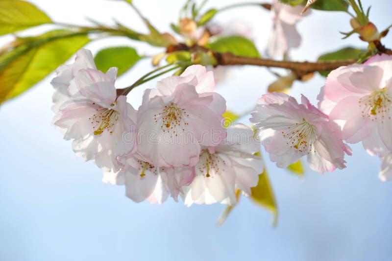 Le Japon sakura photographie stock
