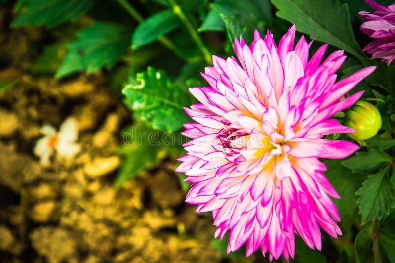 Le jardin d'usine de rose de fond de fleurs blanches de dahlia ombrage floral photo libre de droits