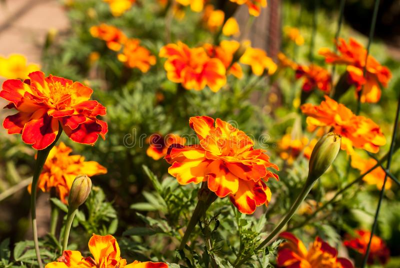 Le jardin fleurit l'idéal juteux lumineux d'image de souci pour le fond photo libre de droits