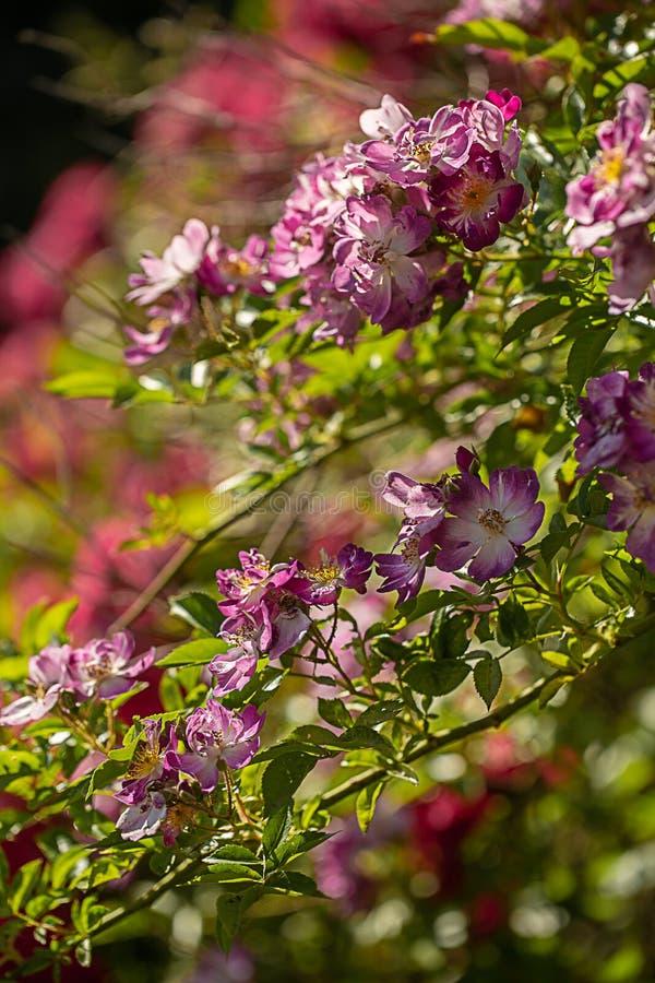 Le jardin s'est levé dans le jardin image libre de droits