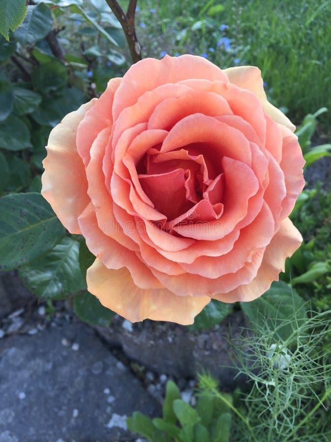 Le jardin s'est levé fleur d'en haut photo stock