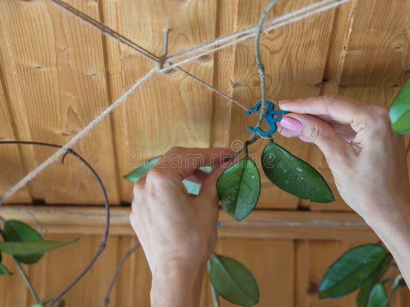 Le jardinier attache la vigne Floriculture d'int?rieur Culture des centrales photographie stock libre de droits