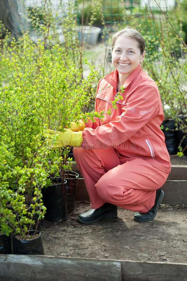 Le jardinier choisit des pousses de buisson image libre de droits