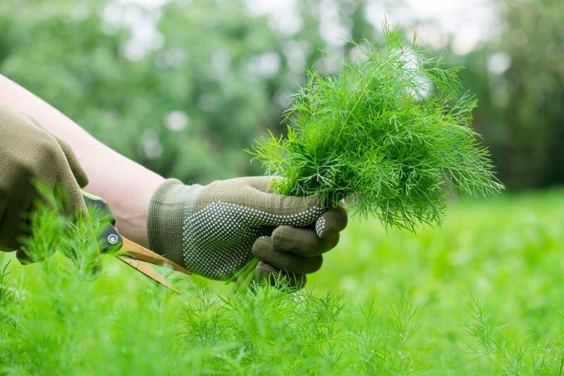 Le jardinier remet couper les brins frais d'aneth avec des ciseaux de jardin image libre de droits