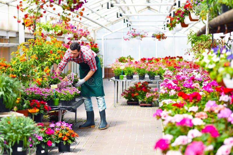 Le jardinier travaille en serre chaude d'un fleuriste photos stock