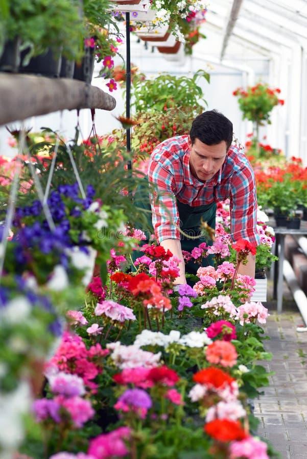 Le jardinier travaille en serre chaude d'un fleuriste images libres de droits