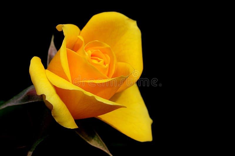 Le jaune a écarté rose image stock