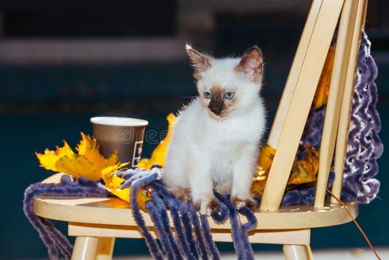 Le jaune beige blanc du soleil de lumière du soleil d'yeux bleus de pelage de race de chaton de petit animal familier thaïlandais images stock